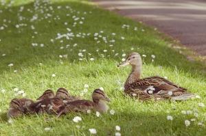 duck-550539_640