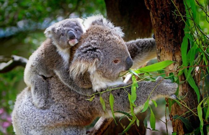 koala-61189_960_720