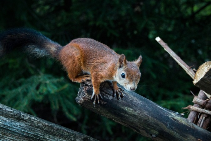 squirrel-1962790_960_720