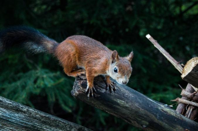 squirrel-1962790_960_720